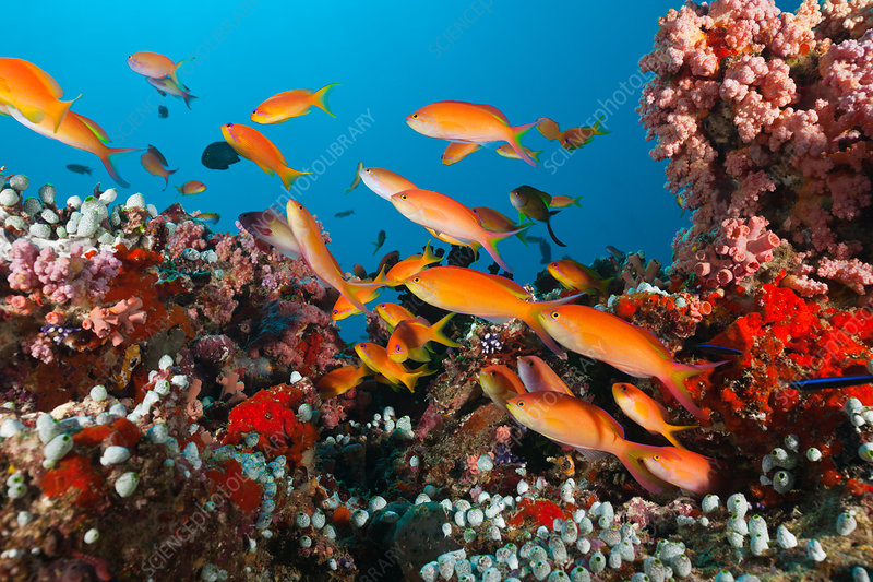 Shoal of Threadfin Anthias in Coral Reef