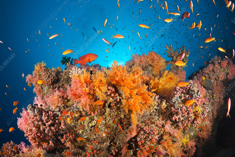 Coral Fishes over Soft Coral Reef