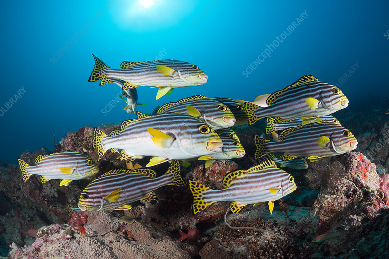 Shoal of Oriental Sweetlips