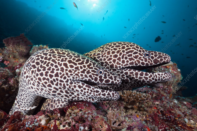 Pair of Honeycomb Moray