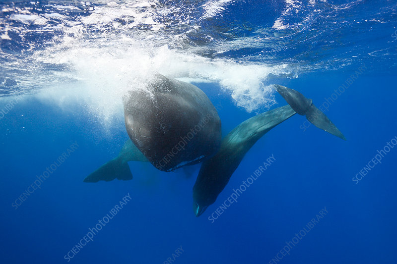 Sperm Whale territorial fight