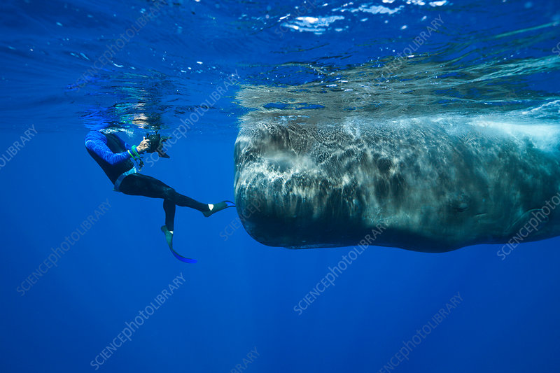 Sperm Whale and Skin diver