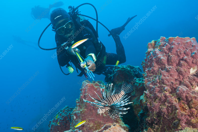 Invasive Lionfish speared by Diver