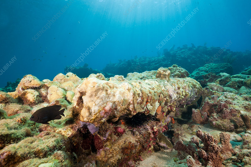 Corals covering Old Cannon