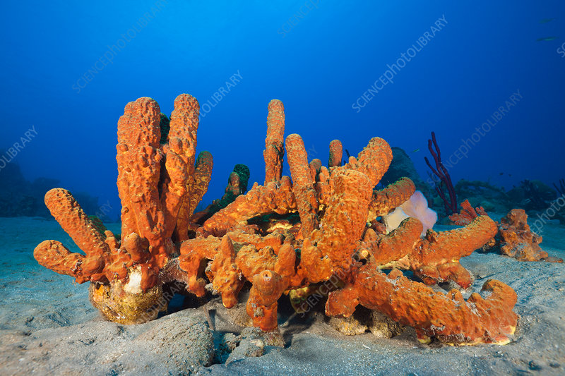 Tube Sponges in Coral Reef