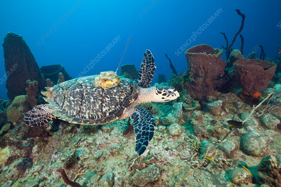 Hawksbill Turtle tagged with Transmitter
