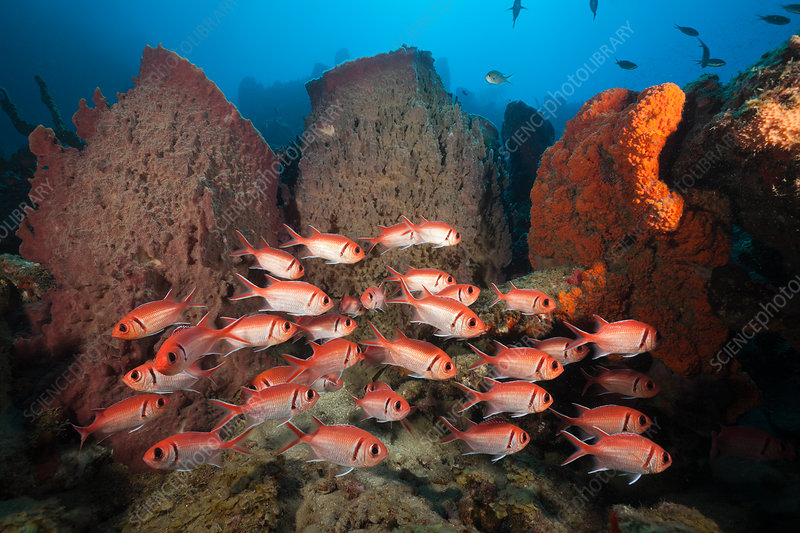 Soldierfish on Coral Reef