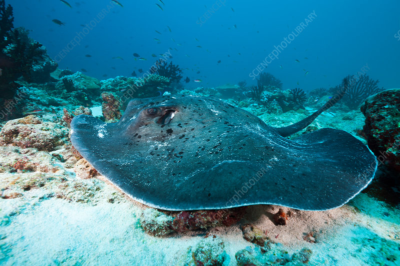 Blackspotted Stingray