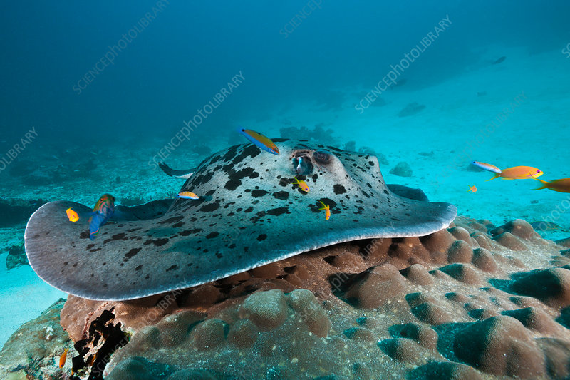 Blackspotted Stingray at Cleaning Station