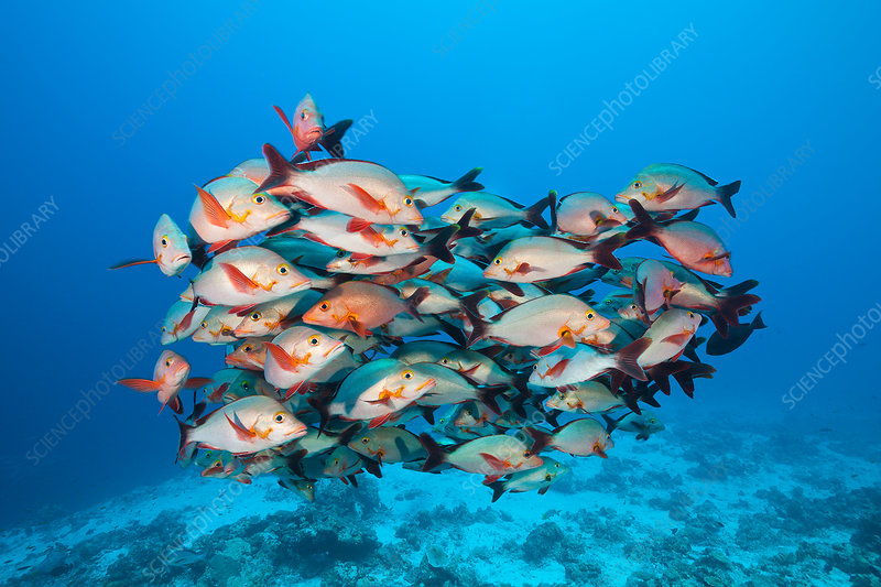 Shoal of Humpback Snapper