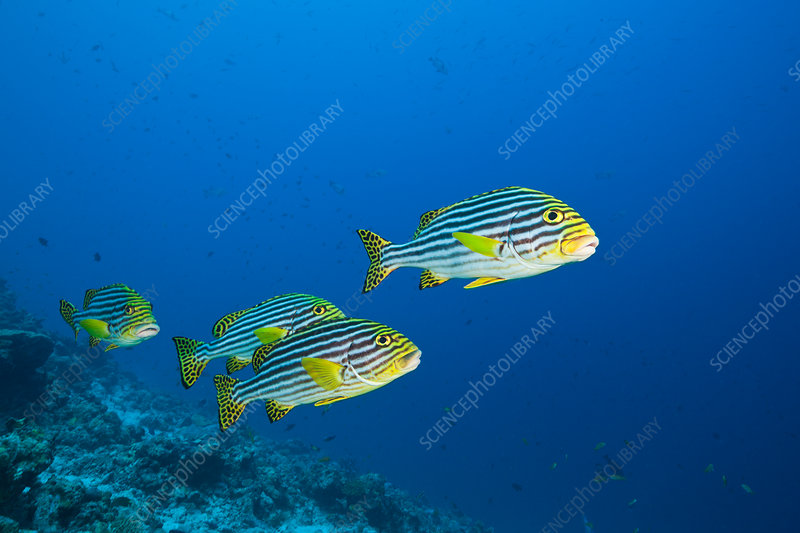 Oriental Sweetlips