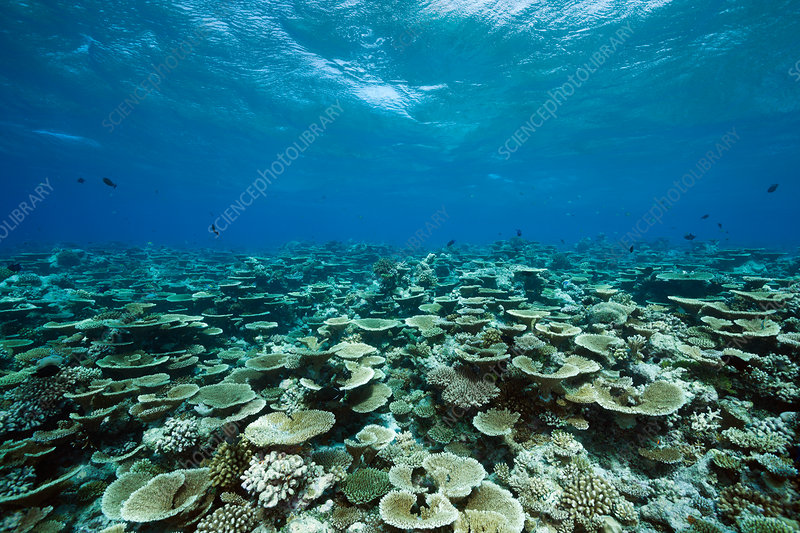 Table Corals growing at Reef