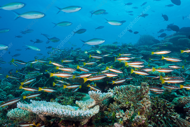 Shoal of Twospot Snapper