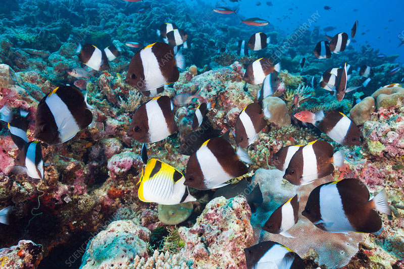 Black Pyramid Butterflyfish