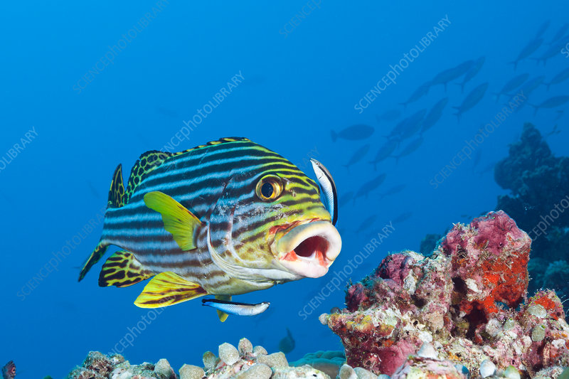 Oriental Sweetlips cleaned by Cleaner Wrasse