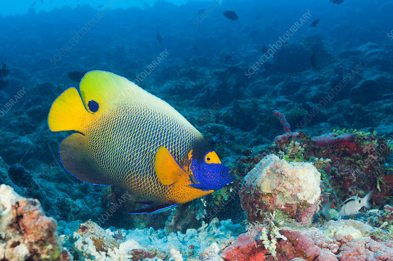 Yellowmask Angelfish