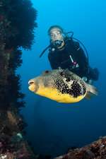 Diver watching Puffer at Maldives Victory Wreck