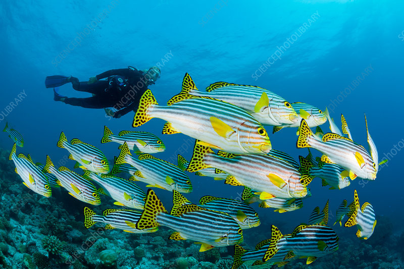 Oriental Sweetlips and Scuba Diver