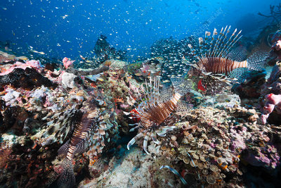 Lionfishes over Coral Reef