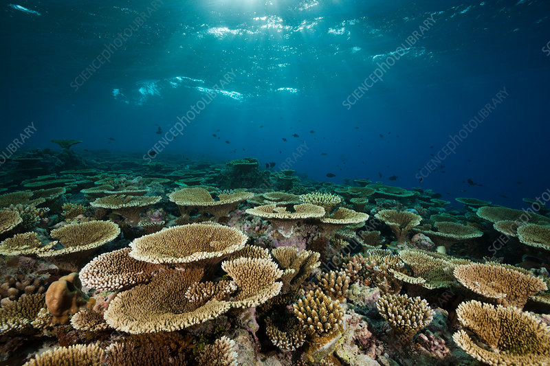 Reef of Table Corals