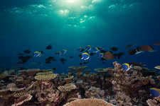 Coral Fishes over Reef Top