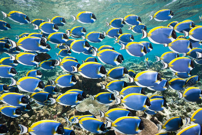 Shoal of Powder Blue Tang