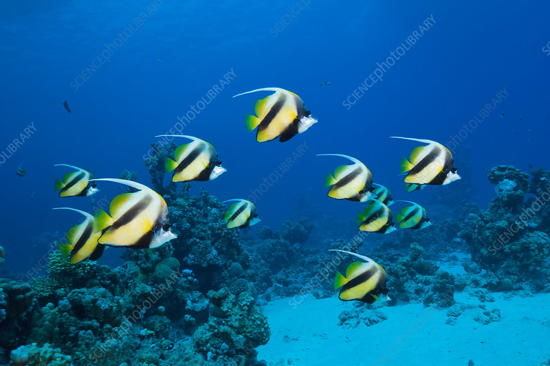 Shoal of Red Sea Bannerfish