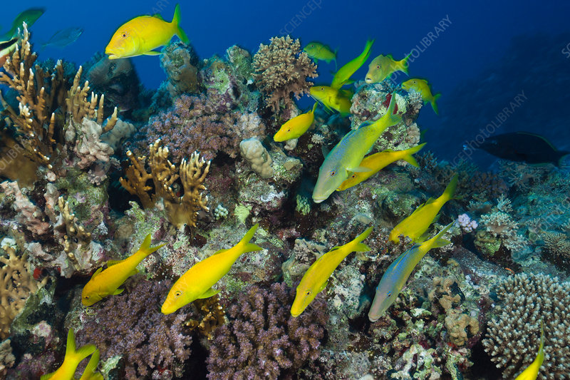 Shoal of Goldspotted Goatfish
