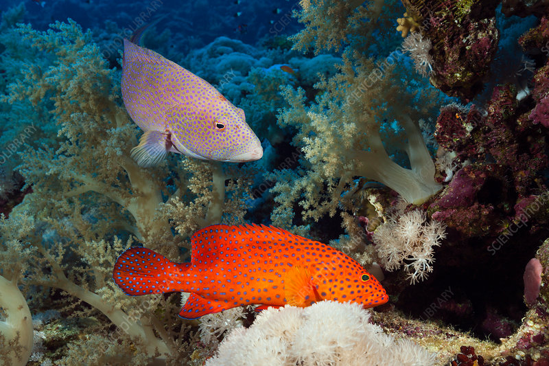 Coral Grouper and Lyretail Grouper