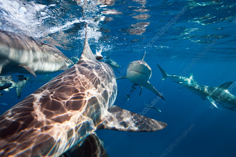 Blacktip Sharks