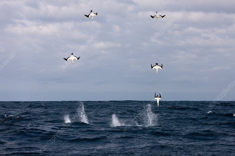 Cape Gannets hunting Sardines