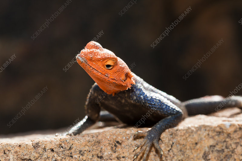 Male Common Agama