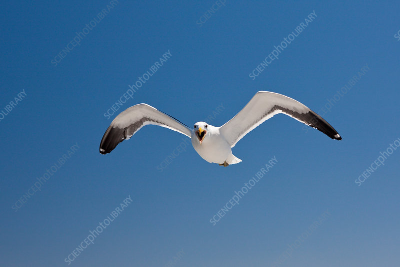Kelp Gull in Flight