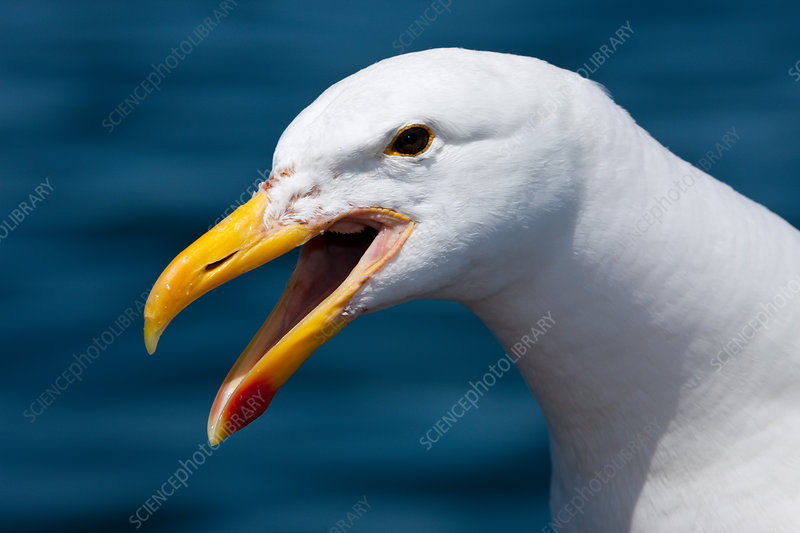 Head of Kelp Gull