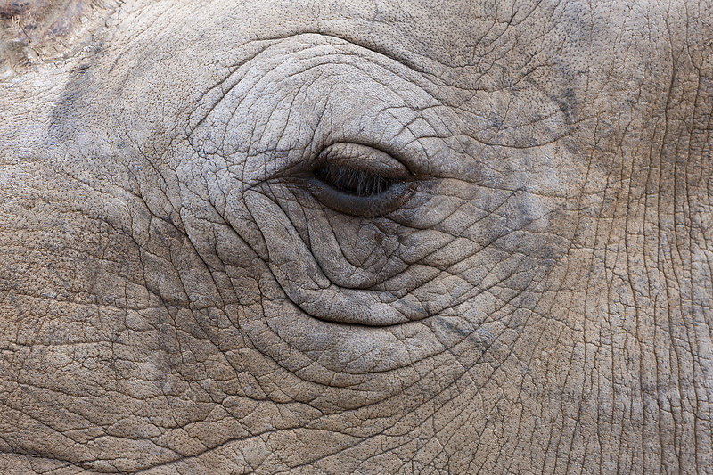 Eye of White Rhinoceros