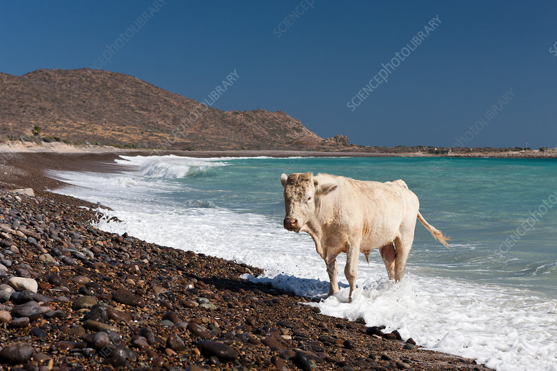 Cattle at Beach of Cabo Pulmo