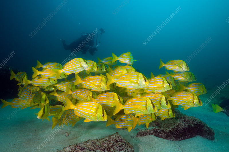 Shoal of Panamic Porkfish