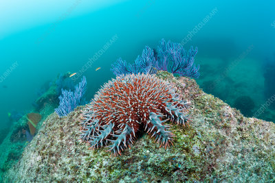 Crown-of-Thorns Starfish on Coral Reef
