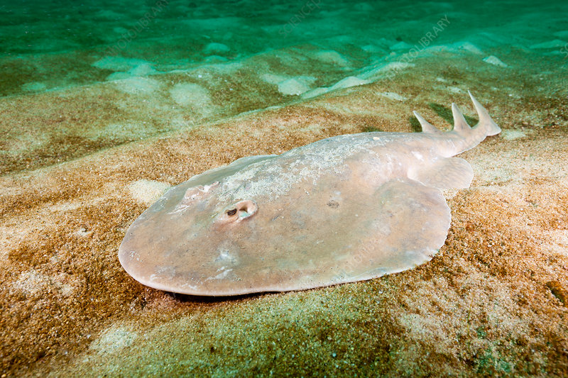 Giant Electric Ray