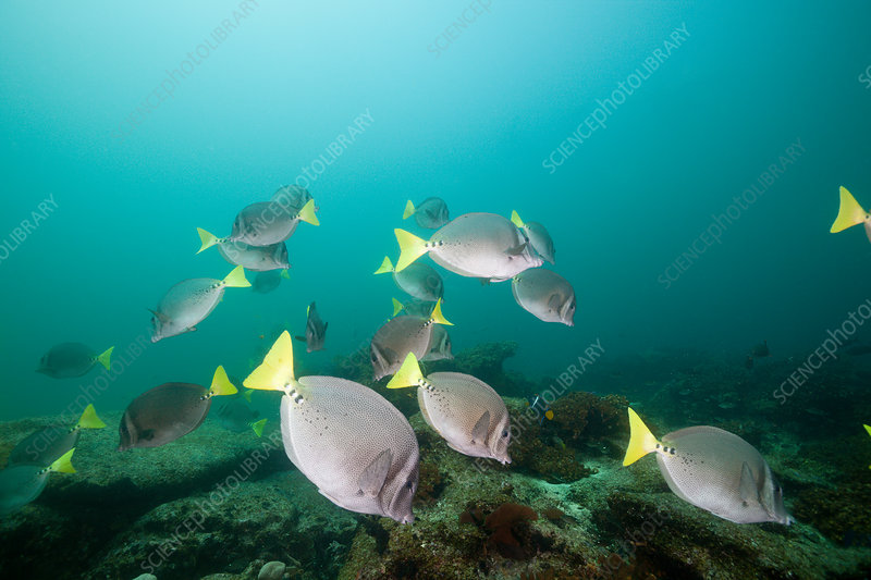 Shoal of Yellowtail Surgeonfish