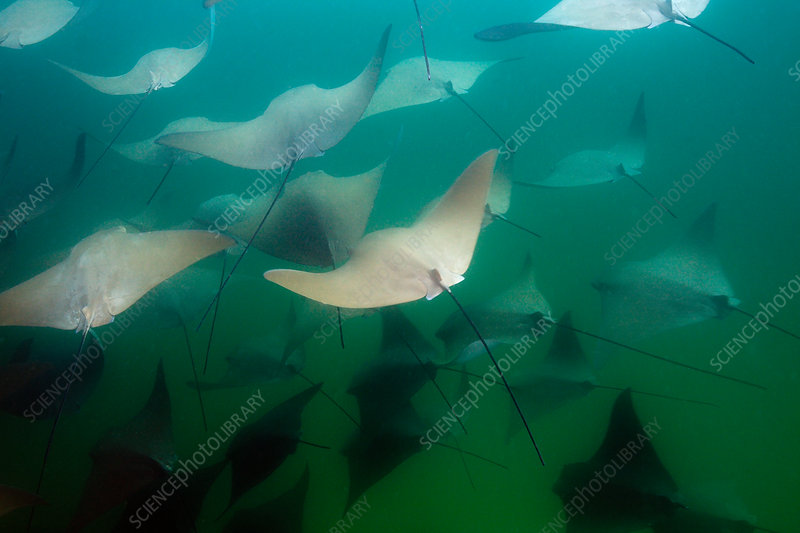 School of Pacific Cownose Ray