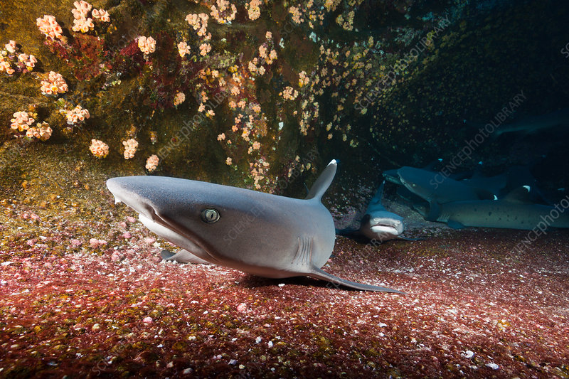 Whitetip Reef Shark resting in Cave