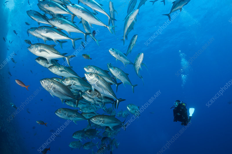 Scuba Diver and Shoal of Bigeye Trevally