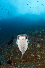 Common Porcupinefish