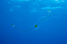 Venus Belt Comb Jellyfish