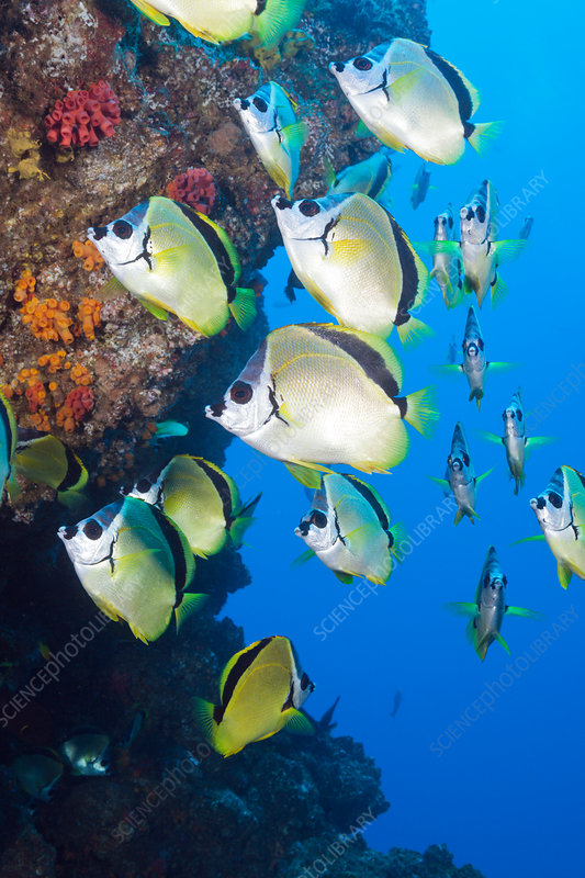 Shoal of Barberfish