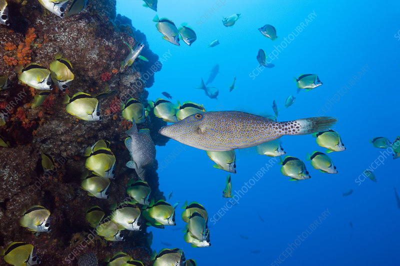 Scrawled Filefish in Shoal of Barberfish