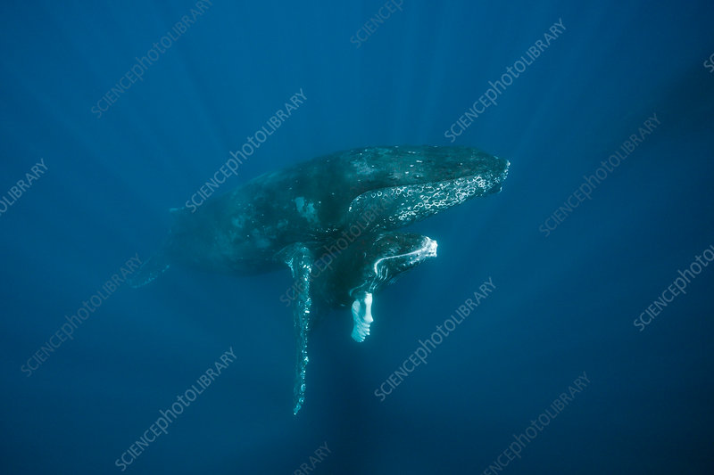 Humpback Whale, Mother and Calf