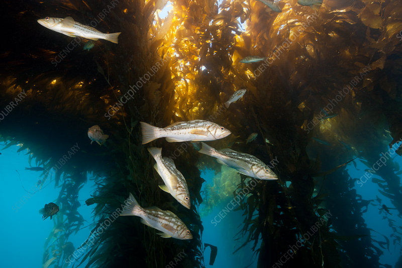 Kelp Bass in Kelp Forest