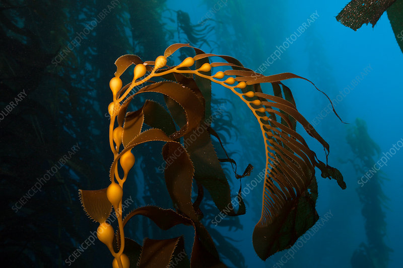 Kelp Forest Giant Kelp